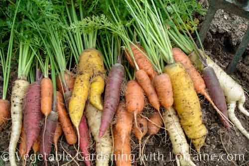 500x333 Growing carrots: carnival blend heirloom carrots