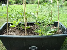 Tomatoes in The Earthbox